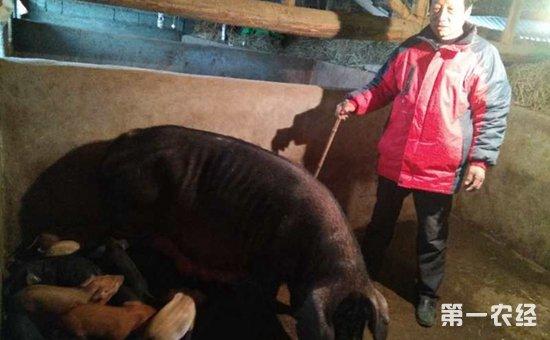 不多见!武汉一母猪产下20只小猪仔  只有一头小猪仔夭折