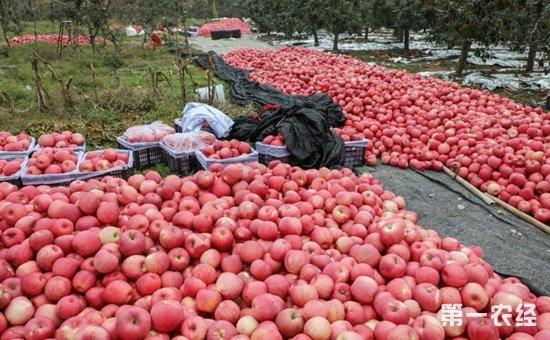 沂源果农患者数万斤苹果滞销  医护人员伸出援助之手