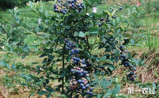 蓝莓树苗多少钱一棵?