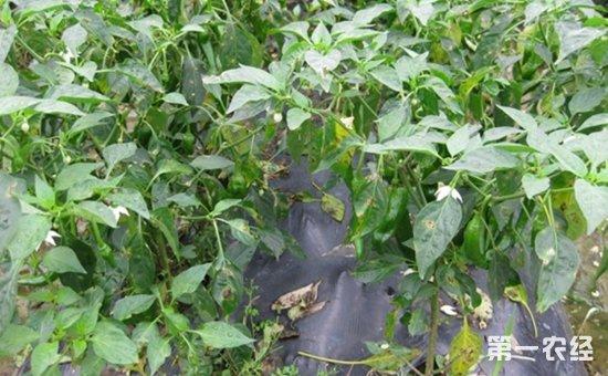 辣椒染上细菌性叶斑病怎么办?辣椒细菌性叶斑病的识别与防治
