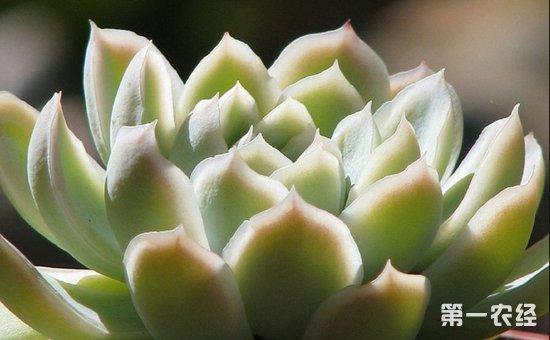 多肉植物宝石花怎么养?宝石花的养殖方法和管理要点
