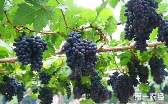 酿酒葡萄怎么种植?酿酒葡萄的标准化种植技术