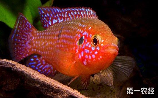 鱼和什么鱼可以混养 5种适合与地图鱼混养的鱼类介绍