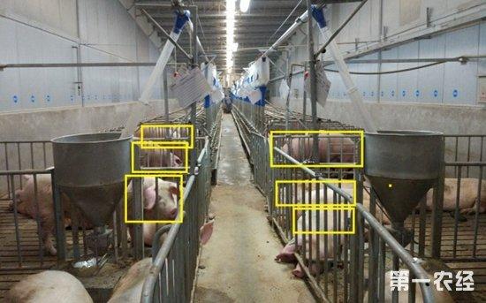 阿里也开始投资养猪业了 人工智能助力养猪业发展