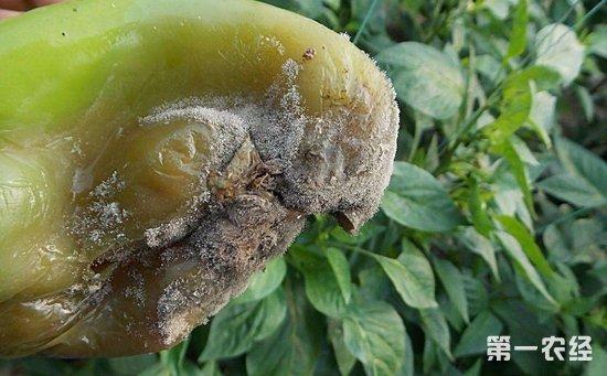 辣椒灰霉病用什么药?辣椒灰霉病的发病规律和防治方法
