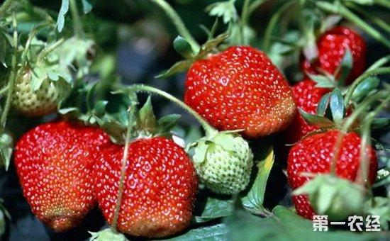 草莓怎么种植?草莓的生长环境和种植管理要点