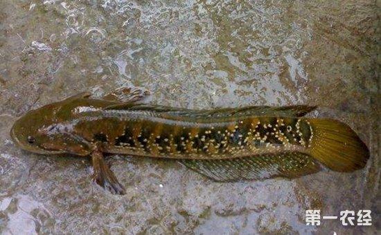 七星鱼疾病怎么预防?七星鱼的鱼病预防技术