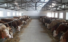 肉牛养殖怎么配种?肉牛的人工配种技术和注意事项