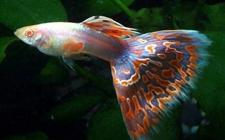孔雀鱼怎么养?孔雀鱼的繁殖方法和养殖要点