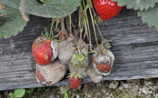 草莓灰霉病怎么治?草莓灰霉病的病症与防治