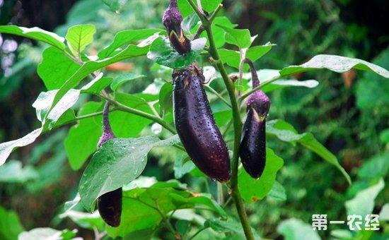 茄子种植如何才能高产?茄子的优质高产栽培技术