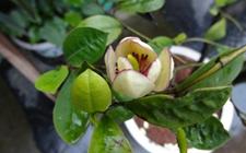 盆栽含笑花怎么养?含笑花的繁殖方法和养护要点