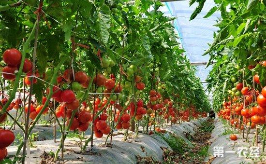 越冬茬番茄怎么种植?冬暖型大棚越冬茬番茄的种植技术