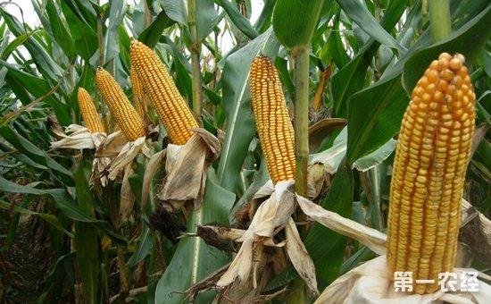 玉米种植怎么播种?玉米的播种技术