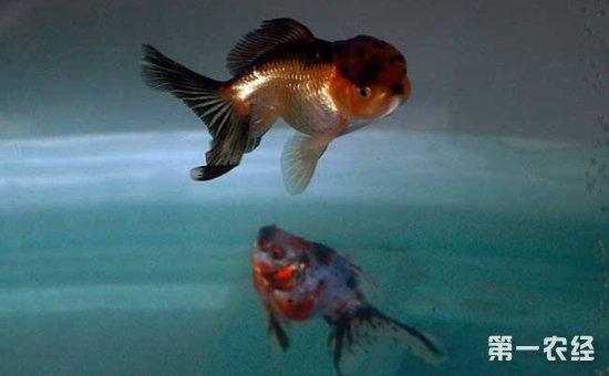 金鱼失鳔病怎么预防?金鱼失鳔病的预防方法