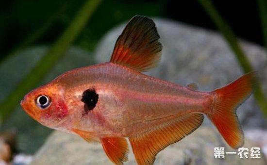 上文中为大家介绍了10种适合与孔雀鱼混养的鱼类