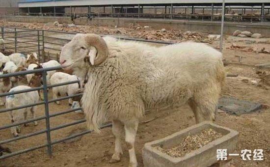 小尾寒羊养殖怎么管理?小尾寒羊的饲养管理要点