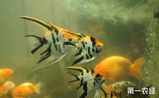 鹦鹉鱼和什么鱼混养?10种适合与鹦鹉鱼混养的鱼类介绍