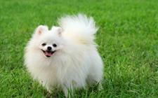 博美犬养殖怎么管理?博美犬的饲养管理要点