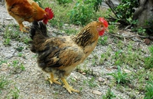 春节将至临近 黄麻鸡价格平稳 市场减缓鸡苗投放