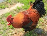 种公鸡怎么进行日常管理?种公鸡的日常管理措施