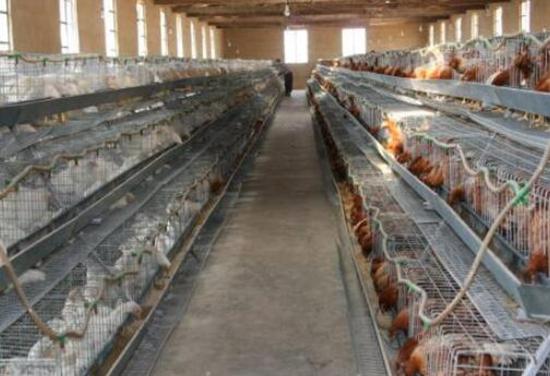 <b>产蛋鸡每天什么喂水比较好?鸡每天最缺水的三个时间</b>