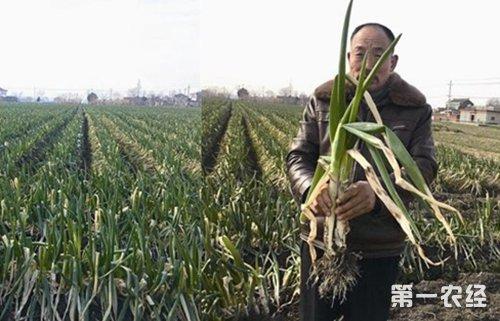 江苏泰州38万斤大葱滞销急盼销路