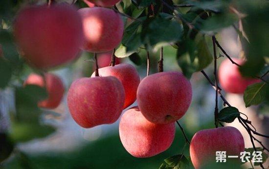 俄罗斯苹果进口量有所下降 自给自足的道路还很漫长