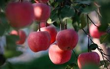 <b>俄罗斯苹果进口量有所下降 自给自足的道路还很漫长</b>
