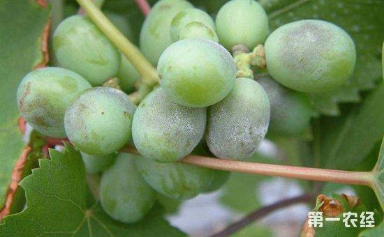 葡萄染上白粉病怎么办?葡萄白粉病的发病特点和防治方法