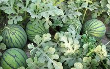 麒麟西瓜种植怎么育苗?麒麟西瓜的育苗技术