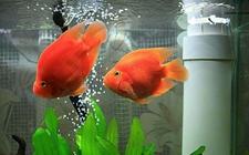 <b>鹦鹉鱼染上肠炎怎么办?鹦鹉鱼肠炎的综合治疗方法</b>