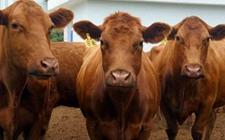 肉牛传染性疾病怎么防治?肉牛常见传染疾病的病症与防治