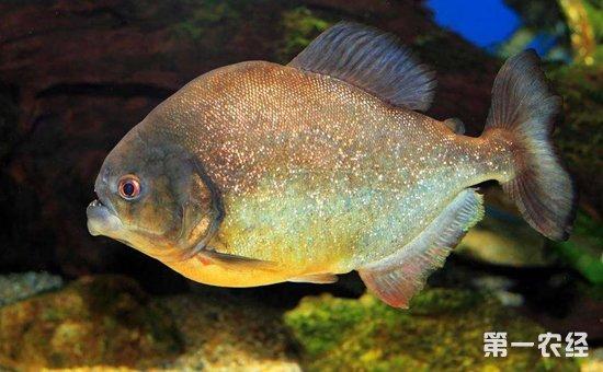 水虎鱼怎么养?水虎鱼的繁殖方法和养殖要点