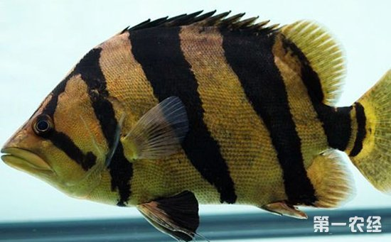 金龙鱼能和虎鱼混养吗?金龙鱼和虎鱼的混养方法介绍