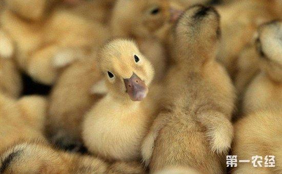 雏鸭养殖怎么管理?雏鸭的养殖方式大全