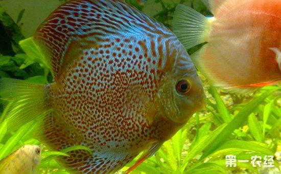 七彩神仙鱼和什么鱼混养好?10种适合与七彩神仙鱼混养的鱼类介绍