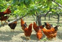 蛋鸡新母鸡病怎么治?新母鸡病的治疗