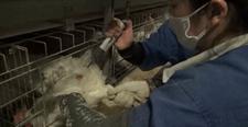 种鸡如何进行人工授精?种鸡人工授精操作技术关键点