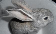 养殖灰毛兔风险小前景好 是农民致富好项目
