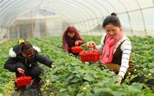 四川华蓥杨朝伟、范艳妮夫妇大棚种草莓蜜蜂授粉售价高