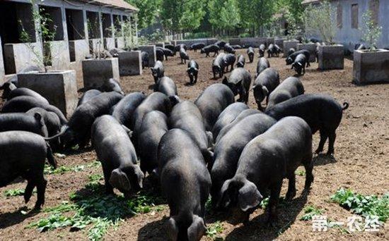 华北型猪种有什么特点?华北型的猪主要有哪些品种?