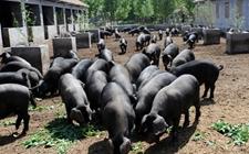 <b>华北型猪种有什么特点?华北型的猪主要有哪些品种?</b>