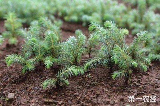 """广西田林县""""退化土地再造林""""保存面积1986公顷"""