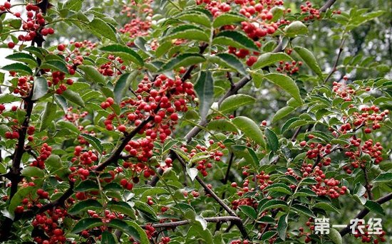 花椒有哪些品种?花椒产地主要分布在哪?
