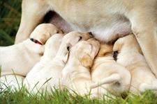 母狗产后没奶或者奶水不足怎么办?怎么给母犬催乳?