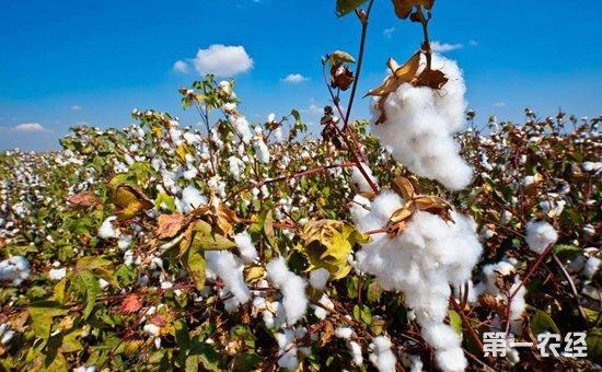 棉花种植怎么施肥?棉花种植的需肥规律与施肥技术