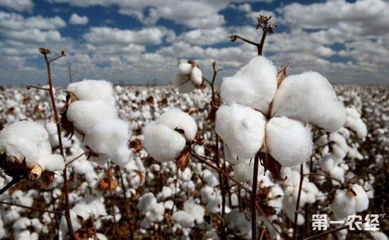 棉花种植怎么浇水?棉花种植的需水规律与灌溉排水