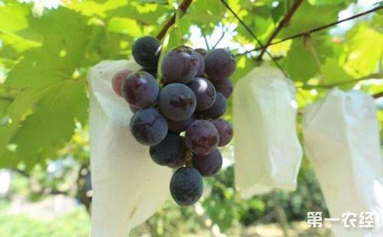 葡萄种植怎么套袋?葡萄种植的高效套袋技术