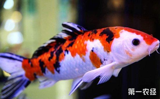 上海附近水族馆金龙被嘴贱惹火撞缸了 上海水族批发市场 上海龙鱼第4张